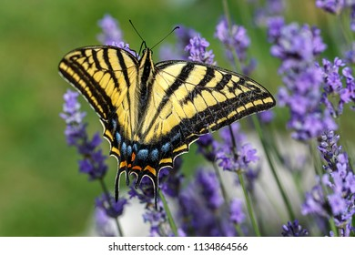 A yellow swallowtail, papilio multicaudata gathers nectar on a lavender plant, Lavandula spica.