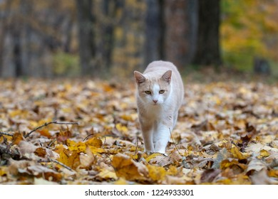 yellow tabby cat walking in woods surrounded by fall colors in autumn