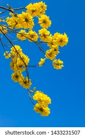 Yellow tabebuia flowers blossom on the blue sky background,Fuzhou,China