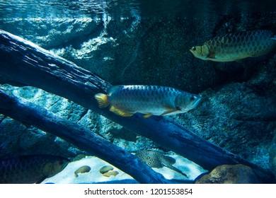 Yellow Tail Arowana fish ปลามังกร