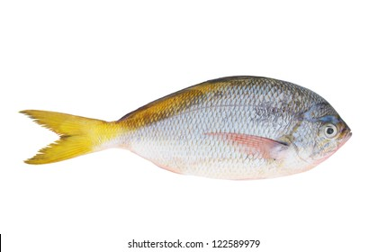 Yellow tail fish isolated on white background