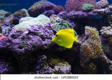 Yellow tang fish in a beautiful coral reef