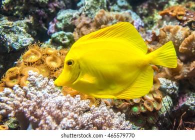 Yellow Tang fish from Hawaii known as Yellow Sailfin Tang or Yellow Surgeonfish
