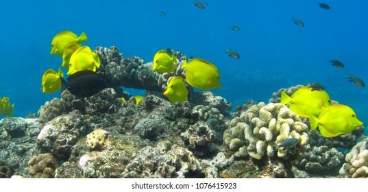 Yellow Tang in the tropical waters of Lanai, Hawaii.