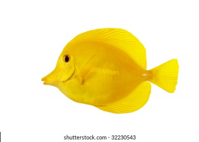 Yellow Tang (Zebrasoma flavescens) isolated on white background.