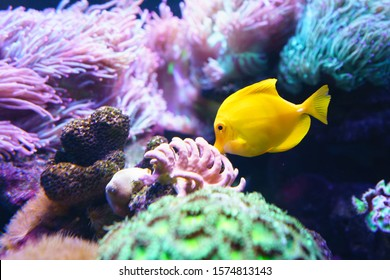 Yellow tang (Zebrasoma flavescens) it's popular to used as a pet in an aquarium.selective focus