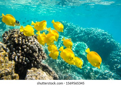 Yellow Tangs A group of yellow tangs fish swimming in the crystal clear water, Big Island, Hawaii