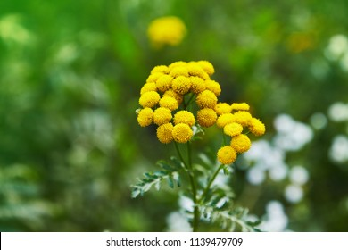 Yellow tansy flowers (Tanacetum vulgare, common tansy, bitter button, cow bitter, or golden buttons) in the green summer meadow. Wildflowers.
