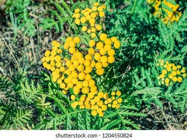 Yellow Tansy flowers. Tanacetum vulgare plant.