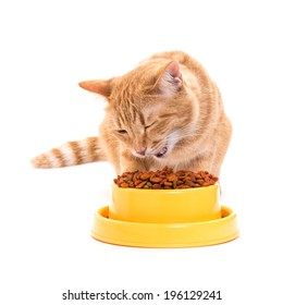 yellow thai cat eats dry food cat from a bright yellow bowl. isolated white background