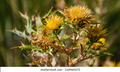 Yellow thistle images stock photos vectors shutterstock yellow thistle close up mightylinksfo