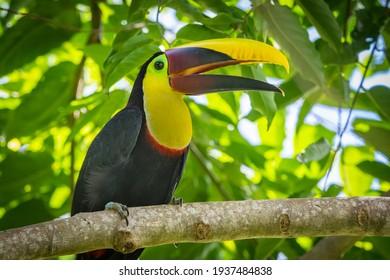 Yellow Throated Tucan in Costa Rica
