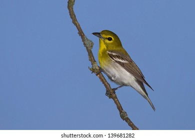 Yellow Throated Vireo Perched On Branch Against Vibrant Blue Sky