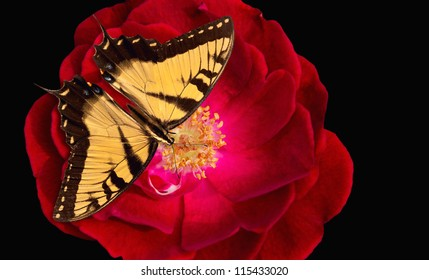 Yellow Tiger Swallowtail butterfly (Papilio glaucus) on red rose against black background