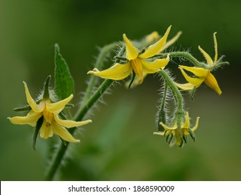 Yellow tomato flowers blooming in the garden.