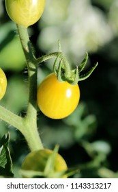 Yellow Tomato, Peach-shaped