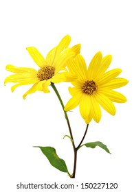 Yellow topinambour flower on a white background