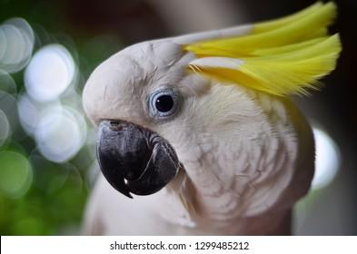 yellow topknot cockatoo
