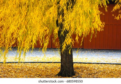 Yellow tree against red barn