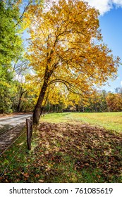 Yellow Tree in Cades Cove - Great Smoky Mountains National Park