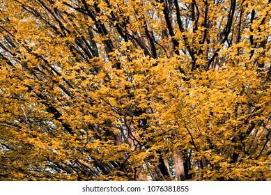 Yellow tree in the fall
