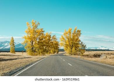 Yellow trees in Twizel New Zealand