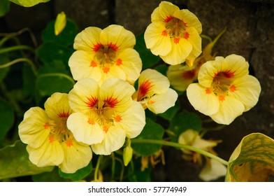 yellow tropaeolum