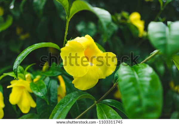 Yellow tropical flower on green bush closeup photo. Blooming tropical garden detail. Bright yellow tropical flower in greenery. Blossom closeup. Beautiful flora of tropical island. Exotic plant