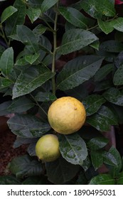 Yellow Tropical Lemon Fruit on the tree with Green Leaves