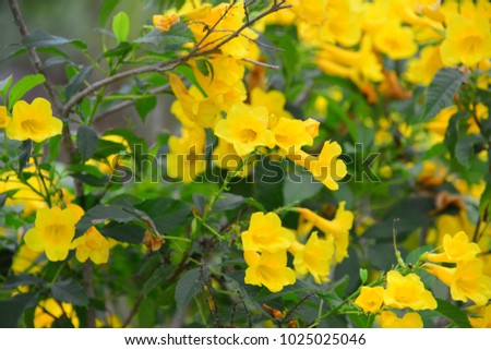 Yellow trumpet bush species flowering shrub stock photo edit now yellow trumpet bush a species of flowering shrub in the trumpet vine family green mightylinksfo