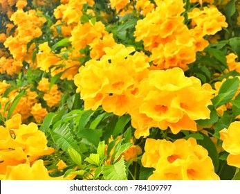 Yellow bells tree images stock photos vectors shutterstock yellow trumpetbushyellow bells flower tecoma stans is the official flower of the mightylinksfo