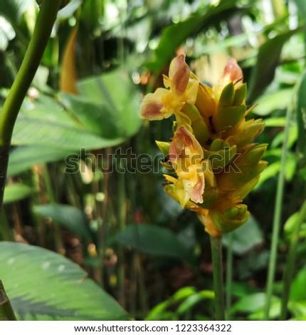 Yellow Tubular Flowers Goeppertia Wilsons Princep Stock Photo Edit