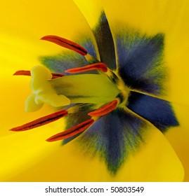 Yellow Tulip Centre (Tulipa) Liliaceae - Macro