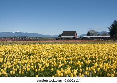 yellow tulip field, tulip festival in Skagit, WA