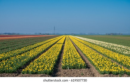 Yellow tulip field in the Netherlands