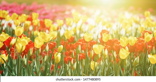 Yellow tulip flower, red tulips blooming in a tulip field at sunset. Nature
