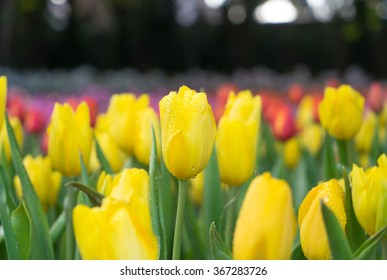 yellow tulip flowers blooming in the garden