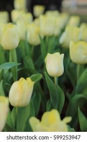 Yellow tulip flowers in garden, soft focus.
