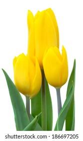 Yellow tulip isolated on white background