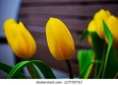 yellow tulip as macro