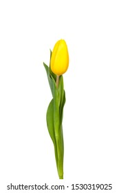 Yellow tulip on white background
