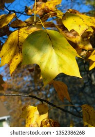 yellow tulip poplar leaves with blurred background and sky