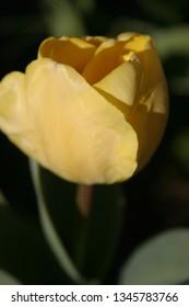 Yellow tulip in spring