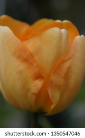 Yellow tulip in the spring