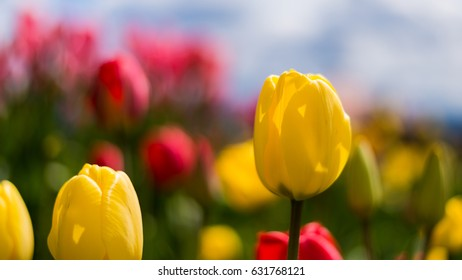Yellow tulip stands tall in a crowded field
