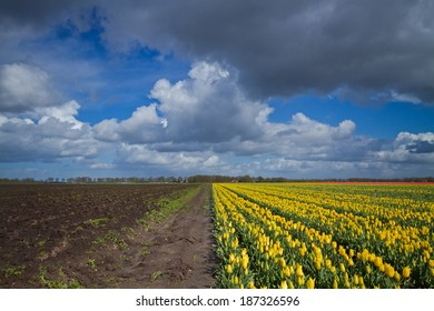 Yellow Tulips and a bare field under dark clouds