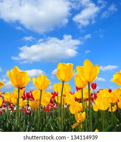Yellow tulips bloom in the spring sun
