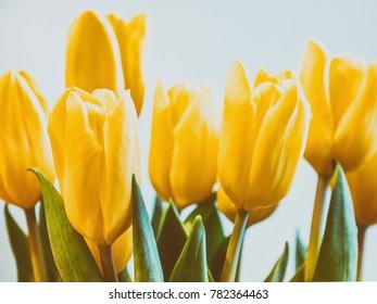Yellow tulips blooming