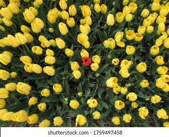 Yellow tulips blossom with a red tulip, closer to Amsterdam, The Netherlands. Spring Time.
