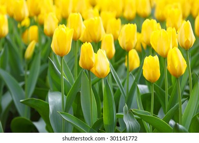 Yellow tulips close up background